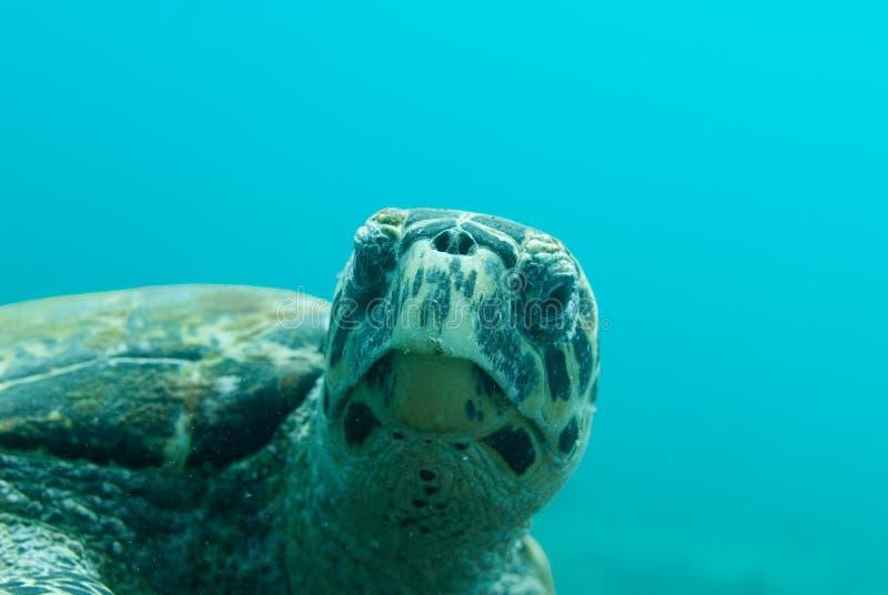Overzeese van Hawksbill Schildpad stock fotografie