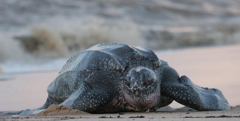 Overzeese van Leatherback schildpad royalty-vrije stock afbeeldingen