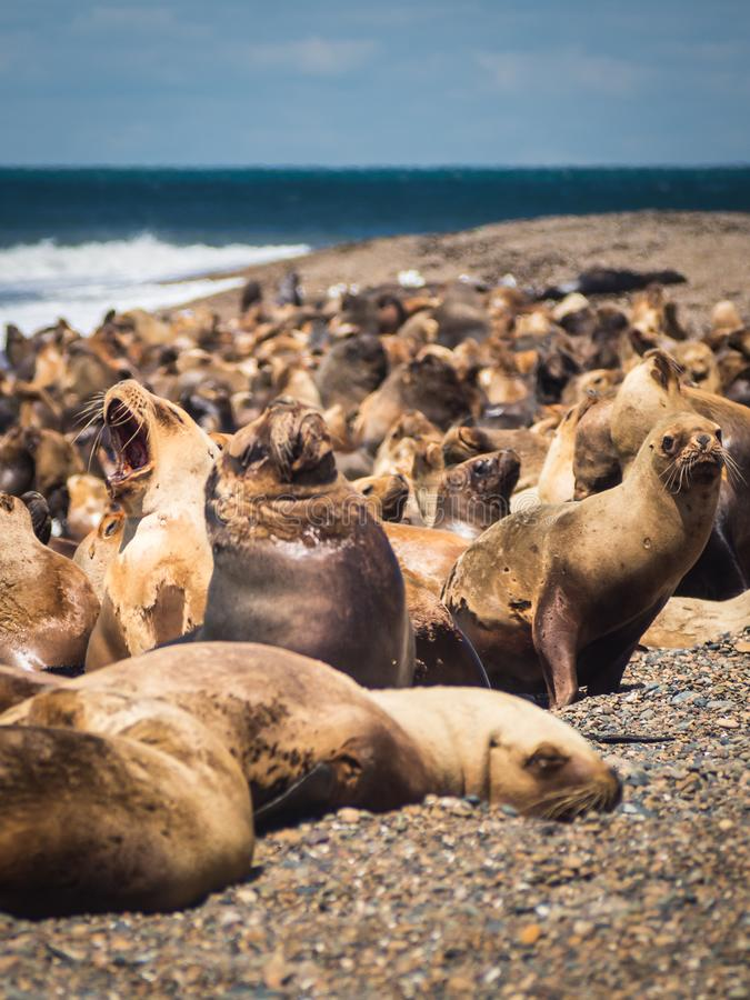 Overzeese wolf in de kust van Argentinië Strand dichtbij Caleta Olivia royalty-vrije stock afbeeldingen