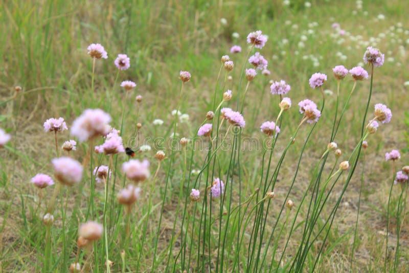 Overzeese zuinigheidsbloemen met gras op de achtergrond stock afbeelding