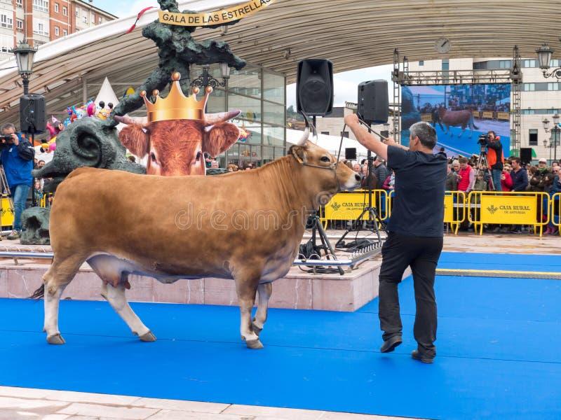 OVIEDO, SPAGNA - 12 maggio 2018: Ows e tori del ¡ di Ð la cosa migliore nella sua razza immagini stock libere da diritti