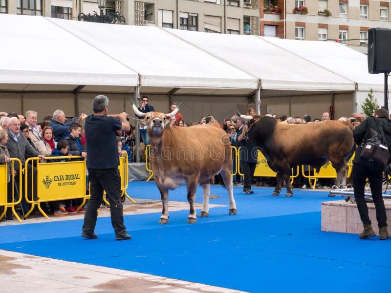 OVIEDO, SPANJE - Mei 12, 2018: De tentoonstelling van het slachtveefokken bij royalty-vrije stock foto's