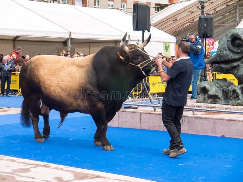 OVIEDO, SPANJE - Mei 12, 2018: Stier best in zijn ras in Plaz stock afbeeldingen