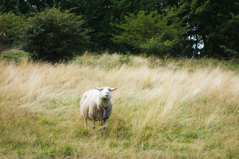 Ovinos brancos com uma campainha a pastorear num campo imagens de stock