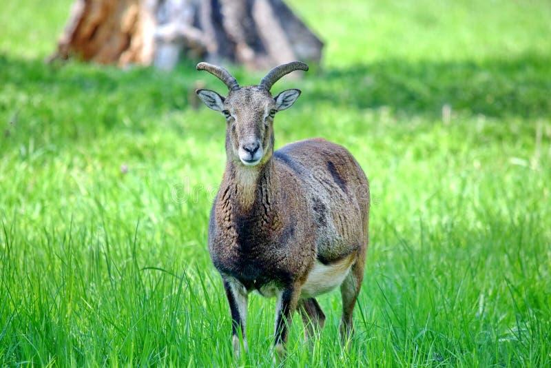 Ovis Aries Musimon Portrait de Mouflon imagem de stock royalty free