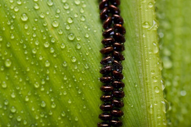 Ovo da borboleta fresca na folha verde foto de stock