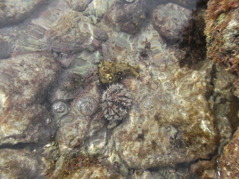Ovo da gar?a-real do diabrete do ?do ? do ?do ? do mar do ventricosus no caldera da praia da zona litoral, pedras dos tripneustes fotografia de stock