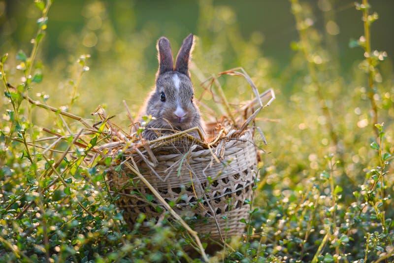 Ovo da páscoa da caça do coelhinho da Páscoa na grama verde foto de stock royalty free