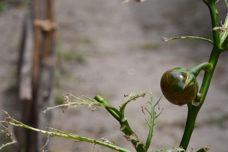 Ovo de jardim tomado inseto imagem de stock