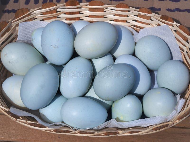 Ovos azuis na cesta ovos coloridos azul das galinhas especialmente crescidas imagens de stock