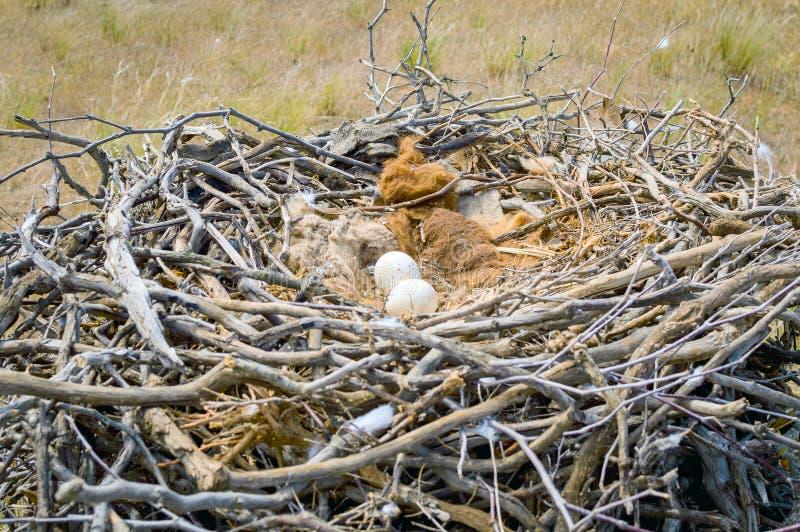 Ovos da águia do estepe ou do nipalensis de Aquila fotografia de stock royalty free