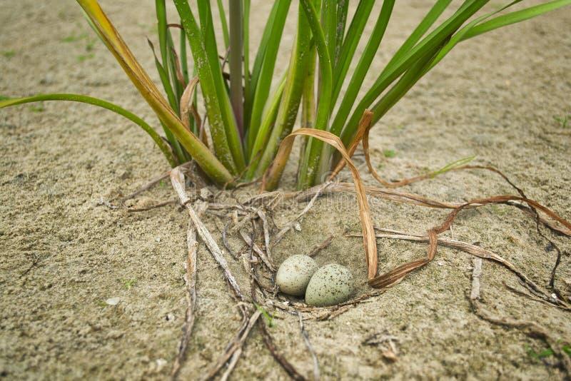 Ovos da gaivota imagens de stock