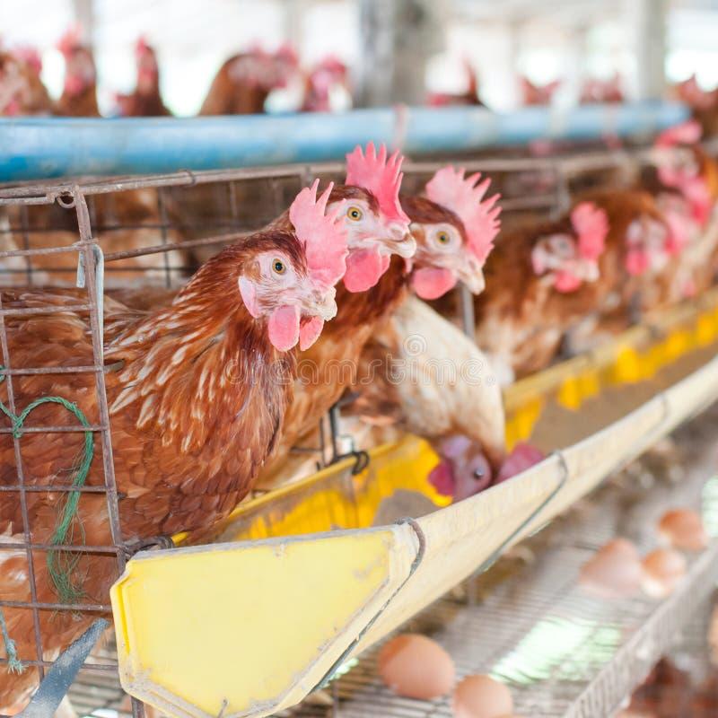 Ovos da galinha da exploração agrícola fotos de stock