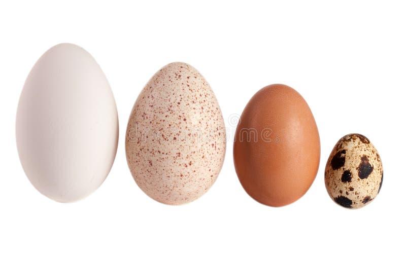 Ovos da galinha e de codorniz do peru do ganso isolados no fundo branco Trajeto de grampeamento fotografia de stock royalty free