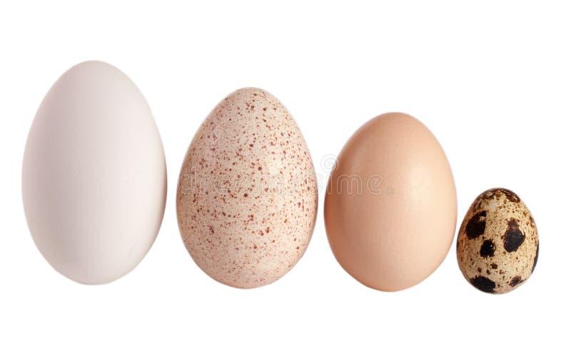 Ovos da galinha e de codorniz do peru do ganso isolados no fundo branco Trajeto de grampeamento imagens de stock royalty free