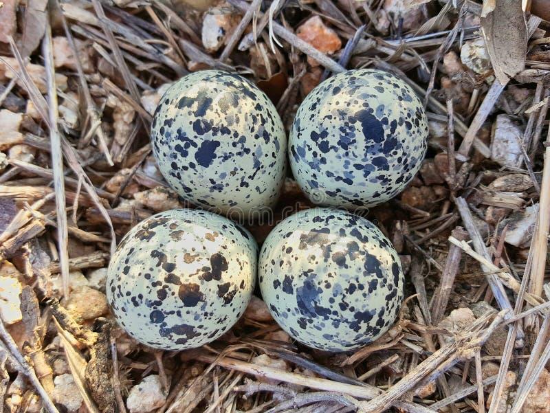 Ovos da tarambola de Killdeer como visto de cima de fotos de stock royalty free