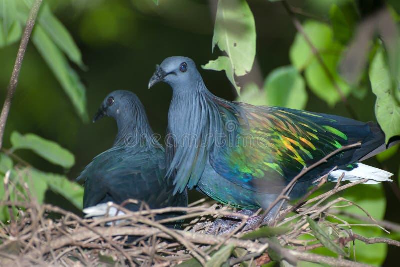 Ovos de choque coloridos do pombo de Nicobar em um ninho em uma árvore imagens de stock