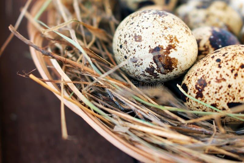 Ovos de codorniz em um ninho do close-up do feno imagens de stock