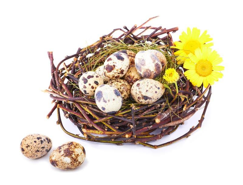 Download Ovos De Codorniz Em Um Ninho Isolado Foto de Stock - Imagem de orgânico, feno: 29837698