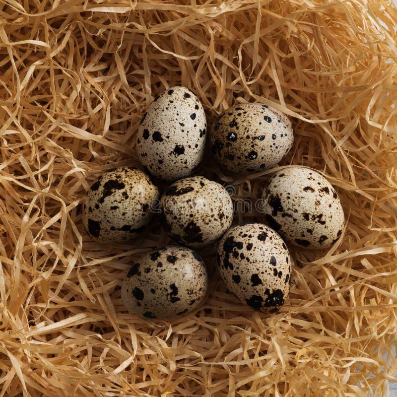 Ovos de codorniz no ninho fotos de stock