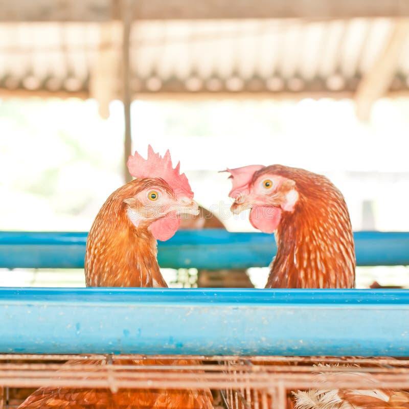 Ovos de galinhas da galinha fotografia de stock