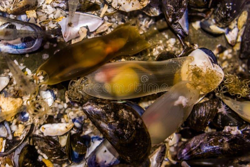 Ovos do tubarão em umas bolsas com um feto vivo, processo de um embrião, reprodução da sereia do crescimento dos peixes fotografia de stock royalty free