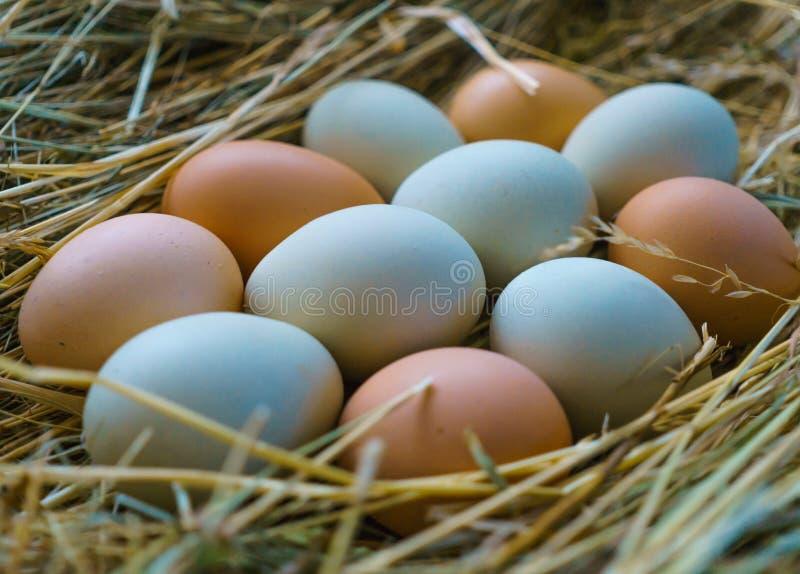 Ovos frescos, naturais da galinha da vila, com um escudo multi-colorido, em uma cama do feno foto de stock