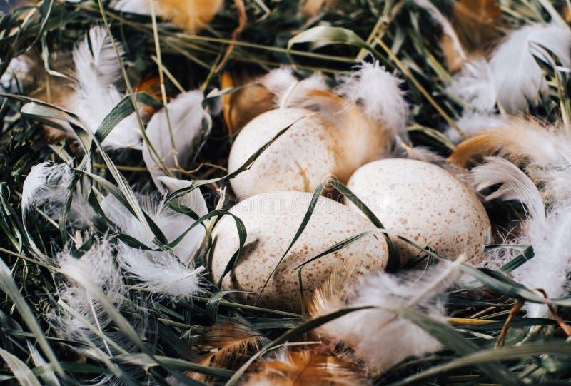 Ovos unpainted naturais da galinha com as penas brilhantes na grama verde seca no ninho em um fundo escuro de madeira do vintage imagens de stock