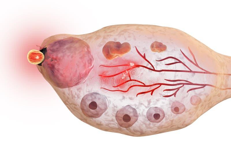 Ovulação no ovário fêmea ilustração royalty free