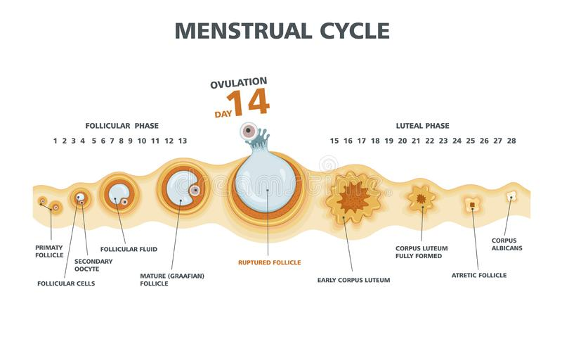Ovulation chart. Female menstrual cycle vector illustration
