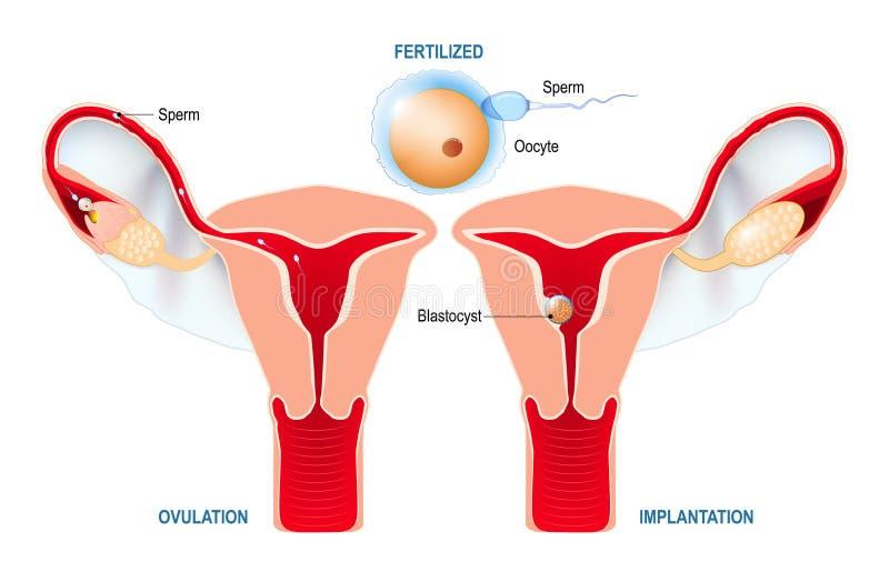 Ovulation, fertilisation, implantation de blastocyst dans l'uter illustration libre de droits