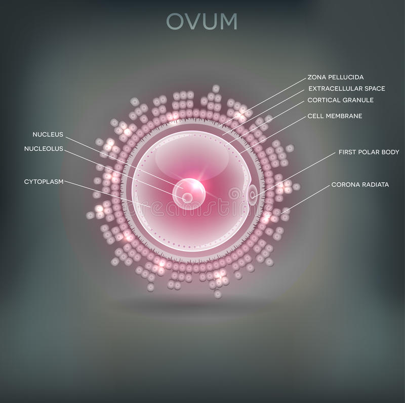 ovum stock illustratie