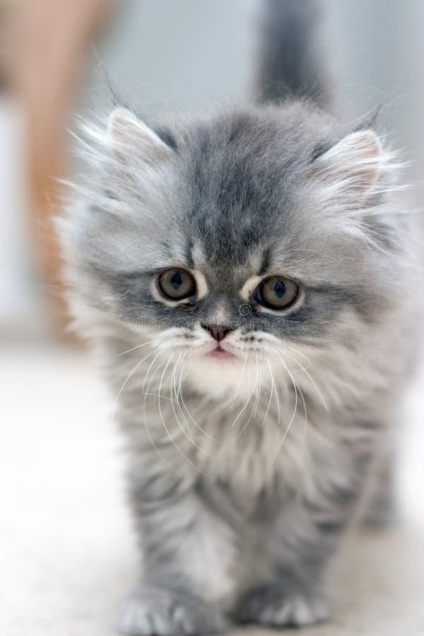 owłosiona kotku zdjęcie royalty free