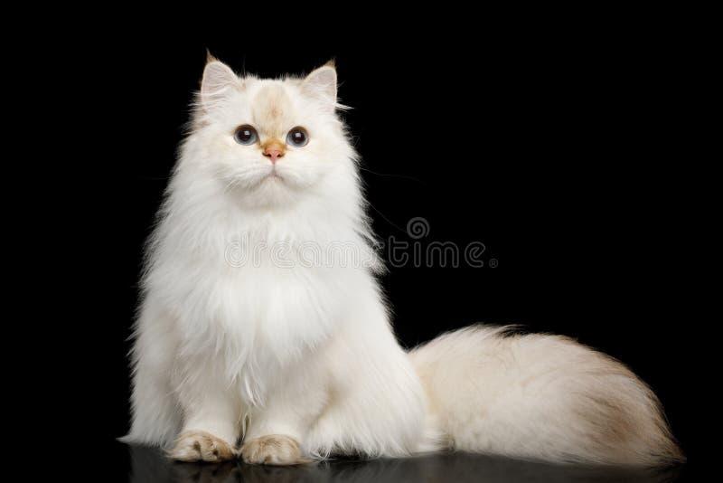 Owłosionego Brytyjskiego kota biały kolor na Odosobnionym Czarnym tle obraz stock