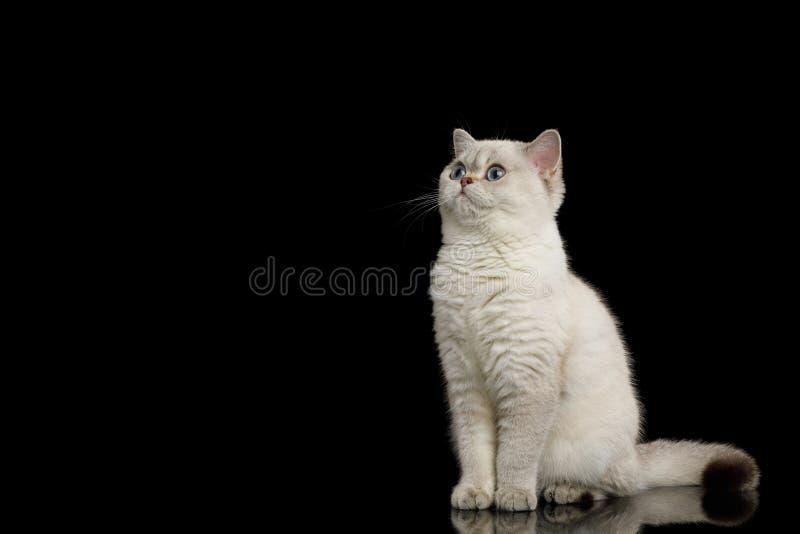 Owłosionego Brytyjskiego trakenu kota biały kolor na Odosobnionym Czarnym tle obraz royalty free