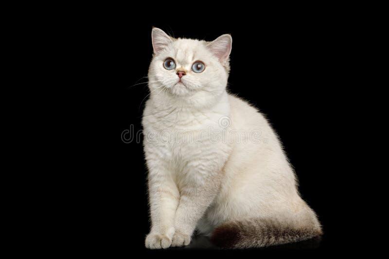 Owłosionego Brytyjskiego trakenu kota biały kolor na Odosobnionym Czarnym tle zdjęcia stock