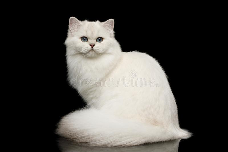 Owłosionego Brytyjskiego trakenu kota biały kolor na Odosobnionym Czarnym tle zdjęcie stock