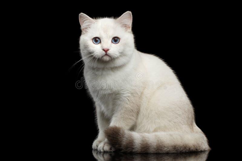 Owłosionego Brytyjskiego trakenu kota biały kolor na Odosobnionym Czarnym tle obrazy royalty free