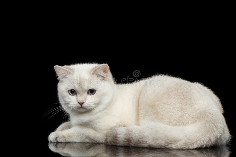 Owłosionego Brytyjskiego trakenu kota biały kolor na Odosobnionym Czarnym tle obraz stock