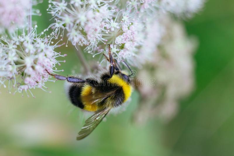 Owłosiony pasiasty bumblebee siedzi na jadowitym białym kwiacie wodny szalej na zielonym tle Textured skrzyd?a Zako?czenie fotografia royalty free