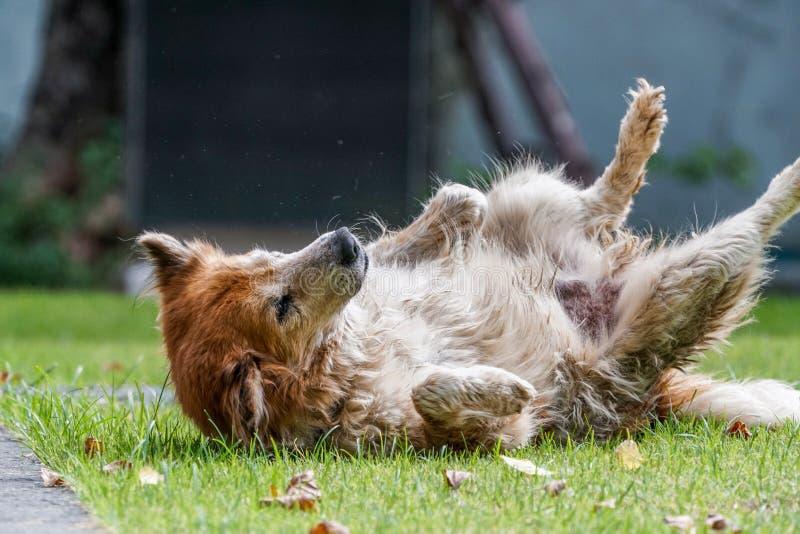 Owłosiony psi kołysanie się na trawy podłoga obrazy royalty free