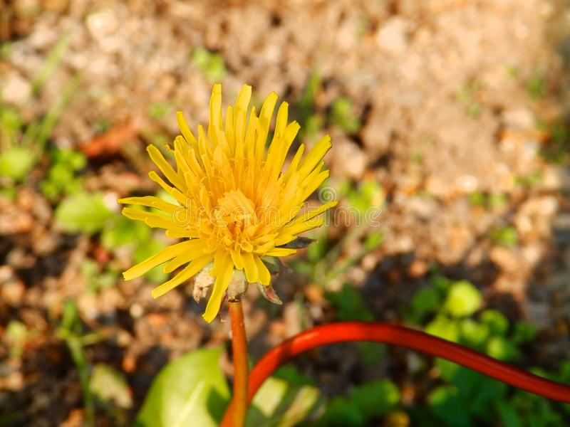 Yellow blooming dandelion flower. Ow blooming dandelion flower macro closeup close-ups images photo photos photograph photography print     floor outside garden royalty free stock images