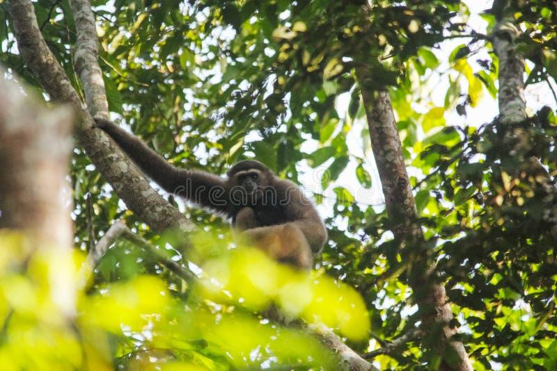 Owamuller ` s bornean gibbon stock foto