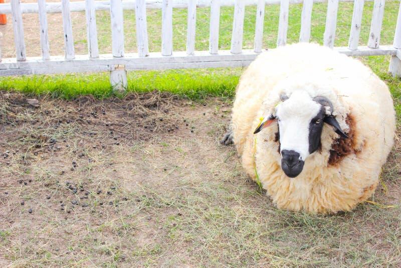owce śpiący zdjęcia royalty free