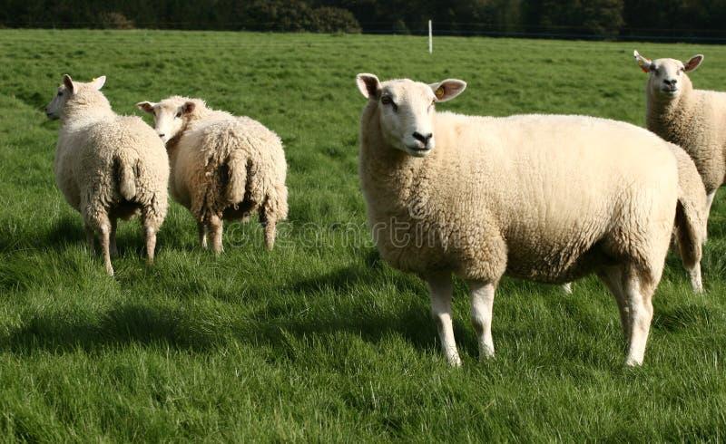 owce obraz stock
