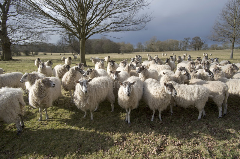 owce zdjęcia stock