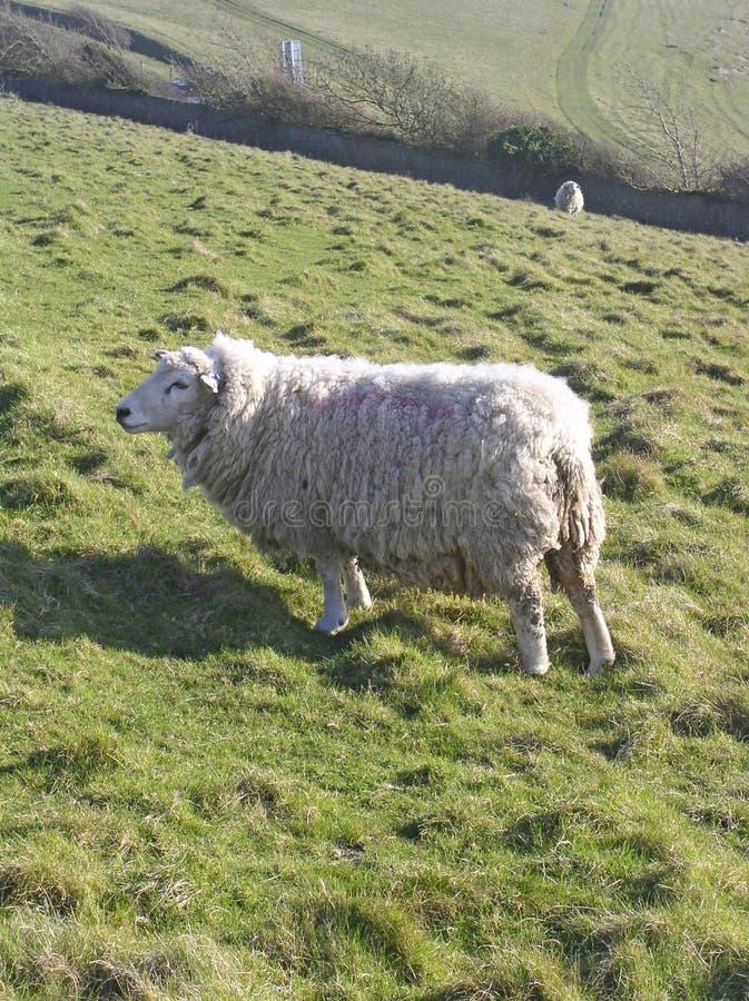 Download Owce zdjęcie stock. Obraz złożonej z wzgórze, wełna, british - 48020