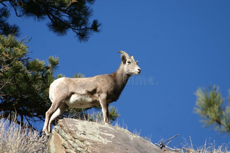 owce bighorn zdjęcie stock