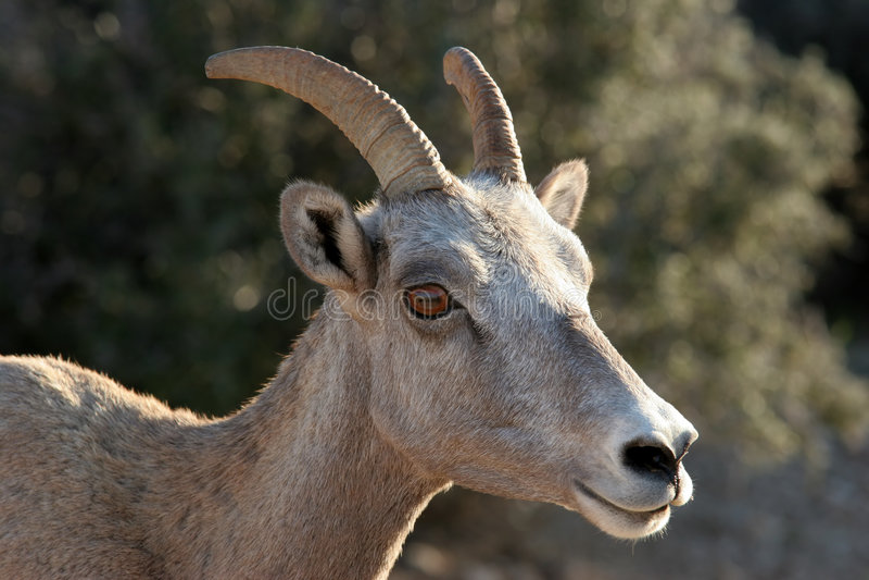Owce Bighorn Obrazy Royalty Free