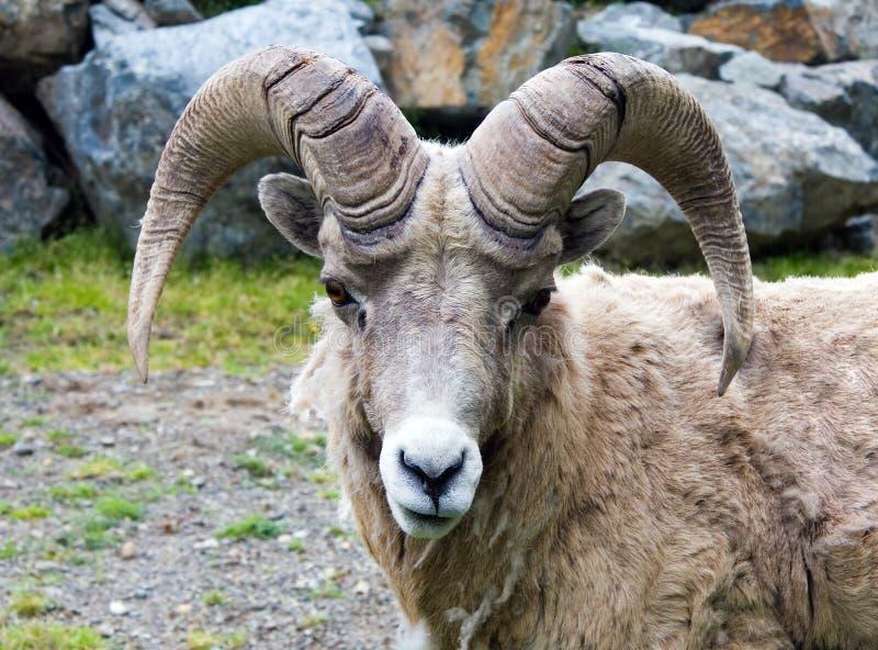 owce bighorn zdjęcia stock